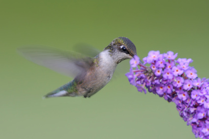 Hummingbird with Butterfly Bush. Photo by Steve Byland-Fotolia.com