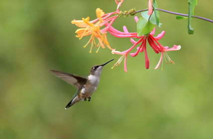 Hummingbird with Honeysuckle blossoms. Photo by Juliana Tilton-Fotolia.com.